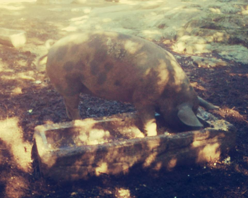 porco-che-mangia