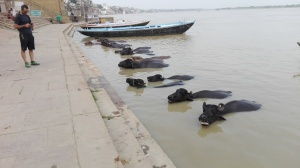 Varanasi - Buffalo bathing