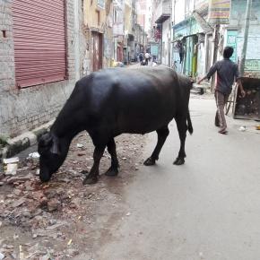 Varanasi - Buffalo