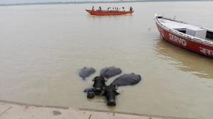 Varanasi - Buffalo bathing