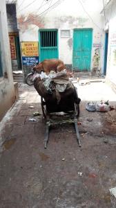 Varanasi - Rubbish and dog